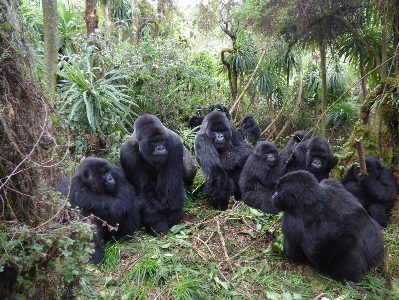 Safari Uganda sau cum te împrietenești cu gorilele de munte